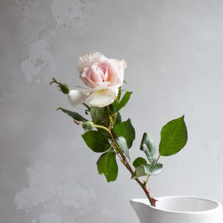 A Whiter Shade Of Pale Gift Boxed Rose Bush For Planting