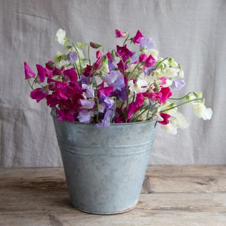 100 Stems of Sweet Peas - Mixed Colours