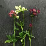 Astrantia English