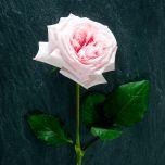 Pink O'hara