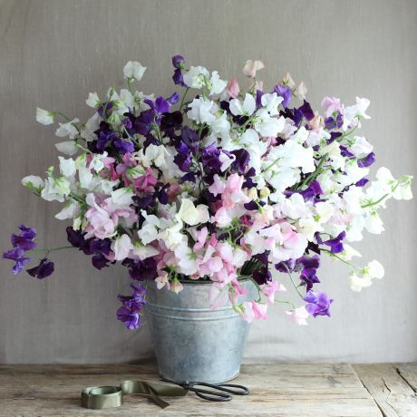 british sweet peas