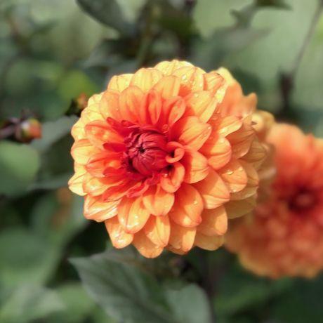 3x David Howard Decorative Small Flowered Dahlia Tubers