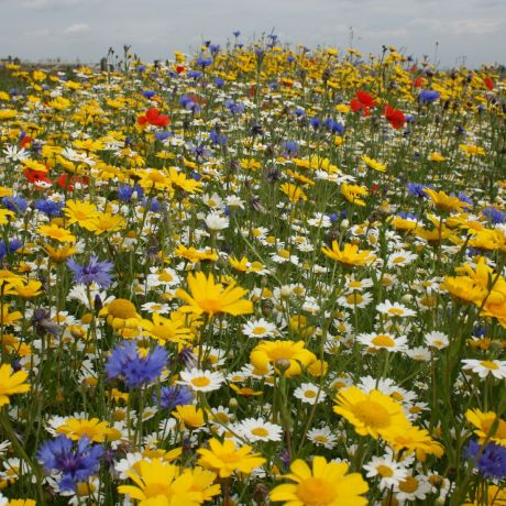 Annual Wild Flower Seed Mix