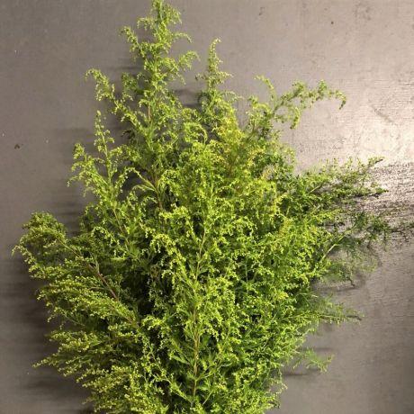 Artemisia - 35cm