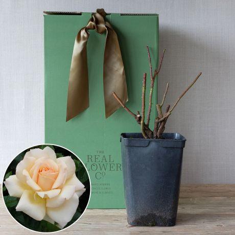 chandos beauty rose bush