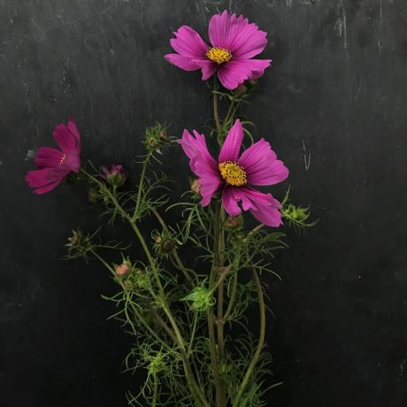 Cosmos Mixed Pink - 50cm