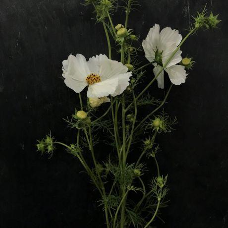 Cosmos White - 50cm