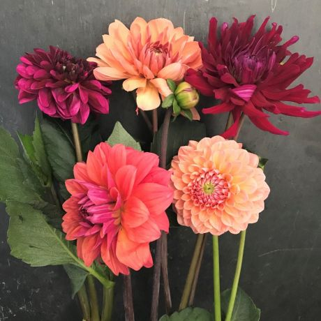 Dahlia - English - DAHLIAS ARE FOR COLLECTION ONLY