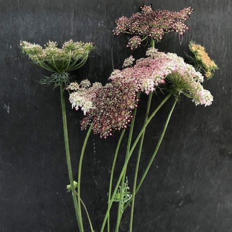 Queen Anne's Lace/Daucus Carota - 50cm