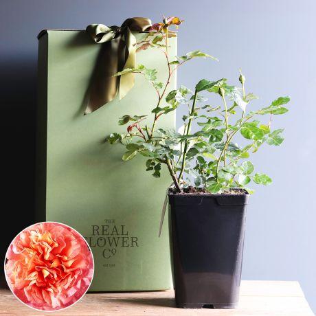Duchess of Cornwall rose bush