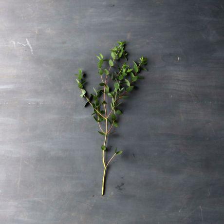 Eucalyptus Parvi (100cm) - English