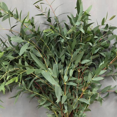 Eucalyptus Parvi (50cm) - English