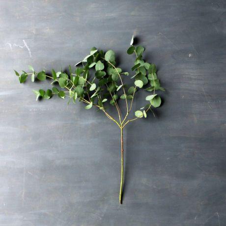 Eucalyptus Silver (100cm) - English