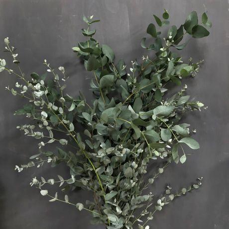 Eucalyptus Silver (50cm) - English