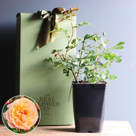 Eveline Wild Edible Rose Bush