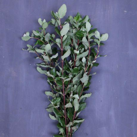 Garrya Foliage (30cm) - English