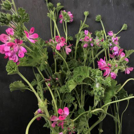 Geranium Scented Bright Flower