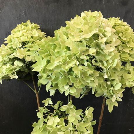 Hydrangea Paniculata Cream (large)