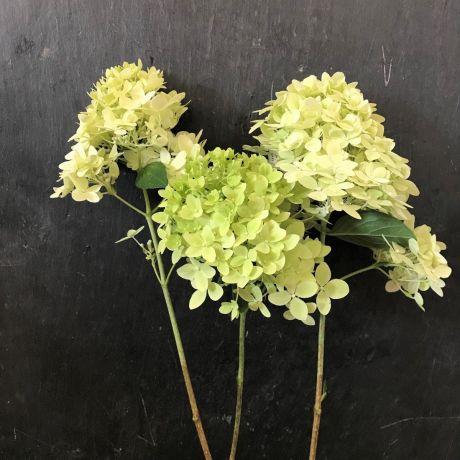 Hydrangea Paniculata Cream (small)