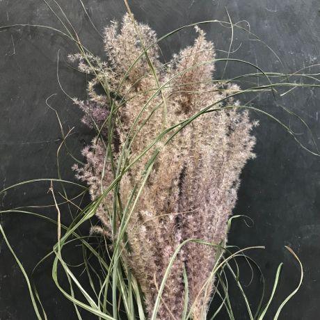 Miscanthus Grass Dried 50cm
