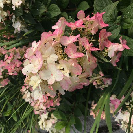 Hydrangea Paniculata - pink large