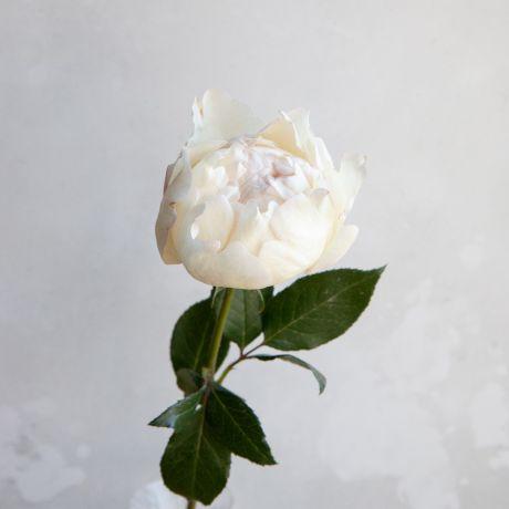 Cream Piaget
