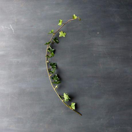 Ivy Trails (50cm) - English