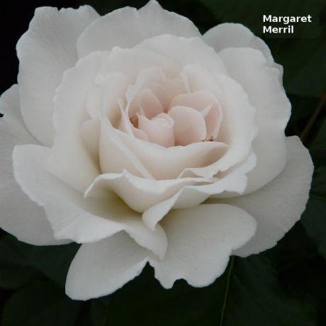 Margaret Merril Rose Bush
