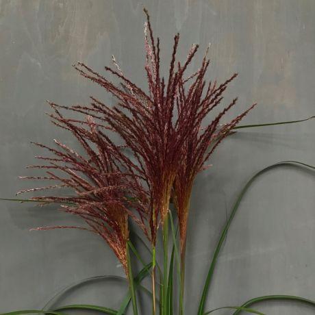 Grass Miscanthus - 60cm