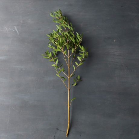 Phillyrea (90cm) - English