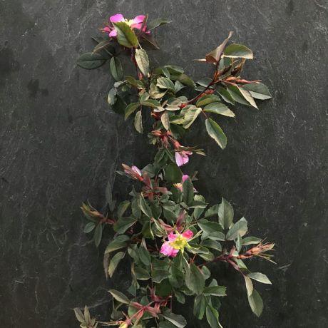 Rubrifolia Hips/Flowers 30cm