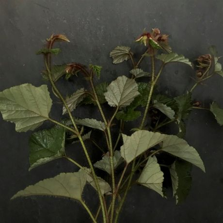 Rubus - 50cm