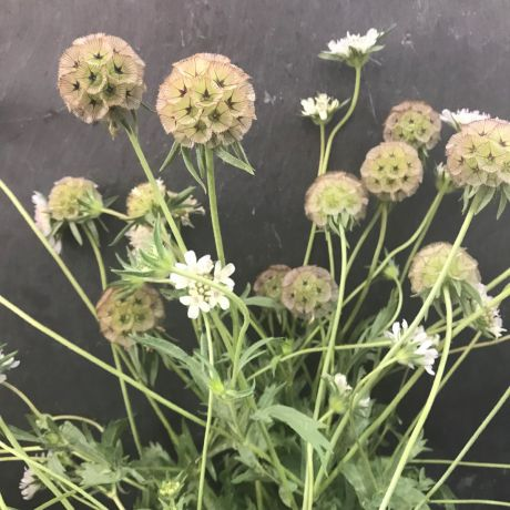 Scabious Stella Seed Head