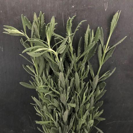Silver Lavender Foliage - Kenyan