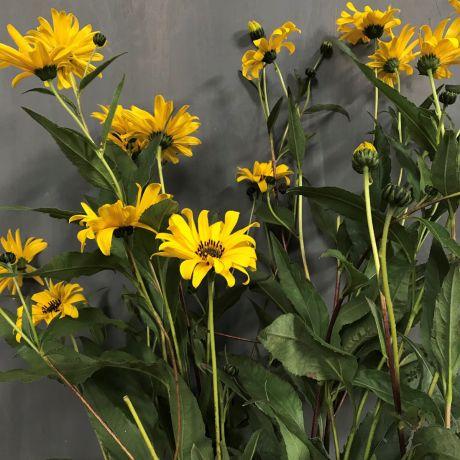 Sunflower small perennial - English