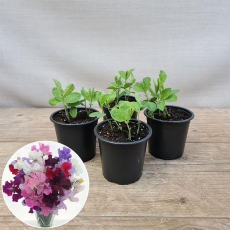 Sweet Pea Bouquet Mixture Seedlings Pots