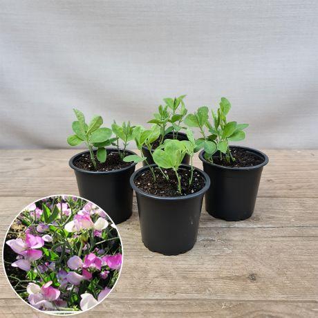 Sweet Pea Theresa Maureen Seedlings Pots