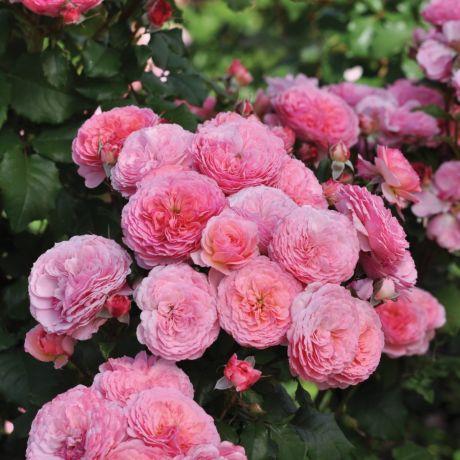 penny lane bare root rose bush