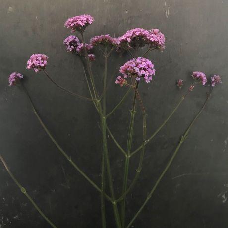 Verbena Bonariensis - 40cm