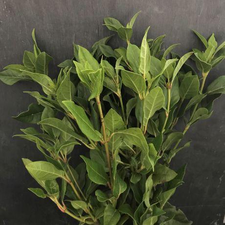 Viburnum Tinus (mature)