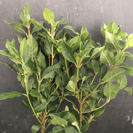 Viburnum Tinus (medium) - 40cm