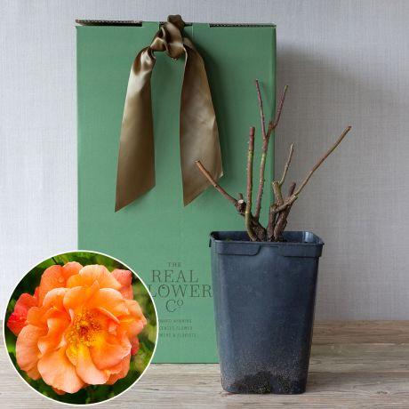 westerland rose bush