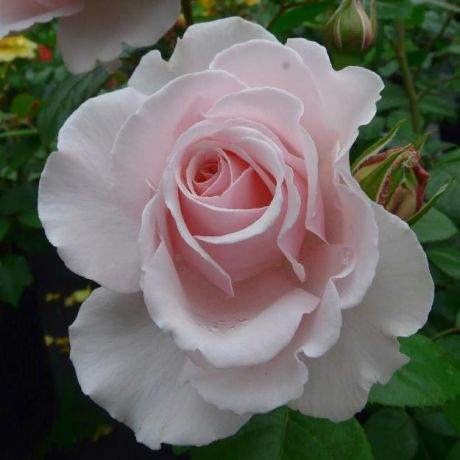 A Whiter Shade Of Pale Rose