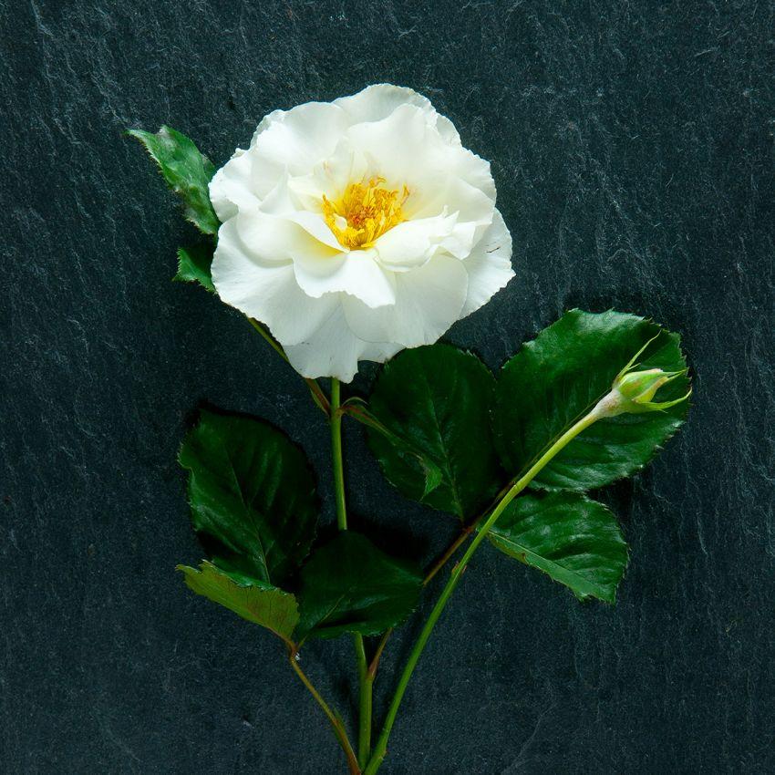 Margaret Merril - Gift boxed Potting Rose