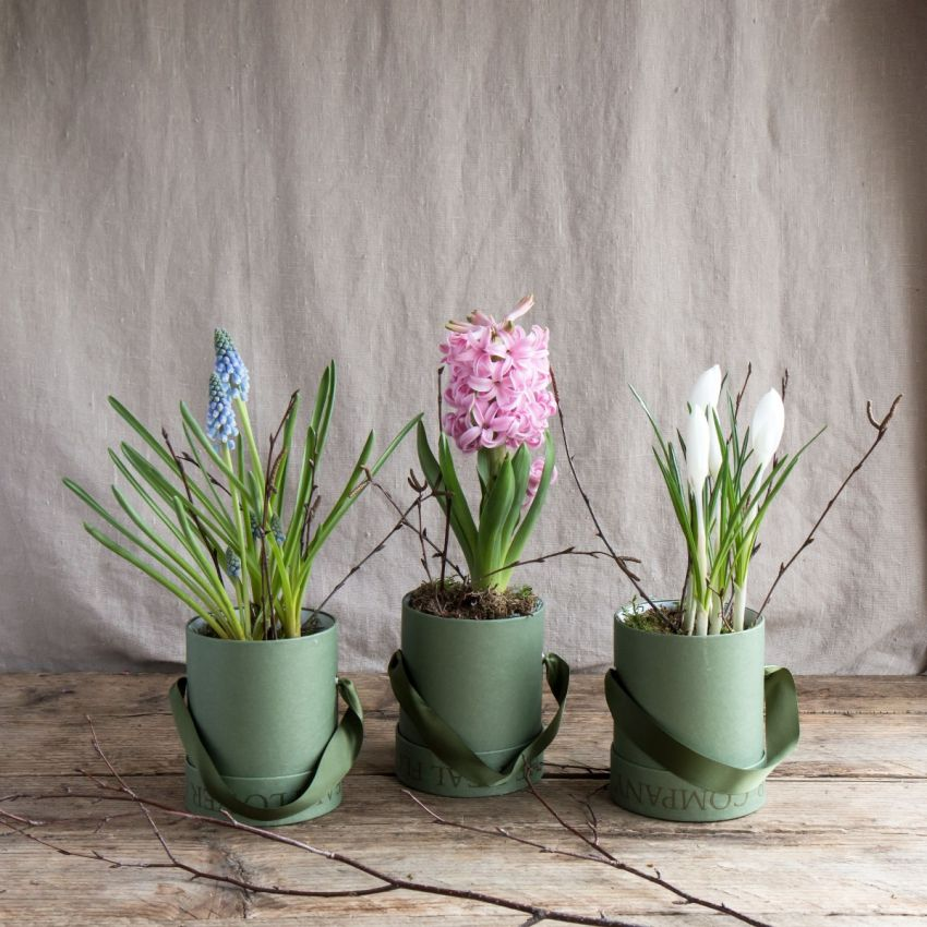 Mixed Spring Bulb Hat Box Trio