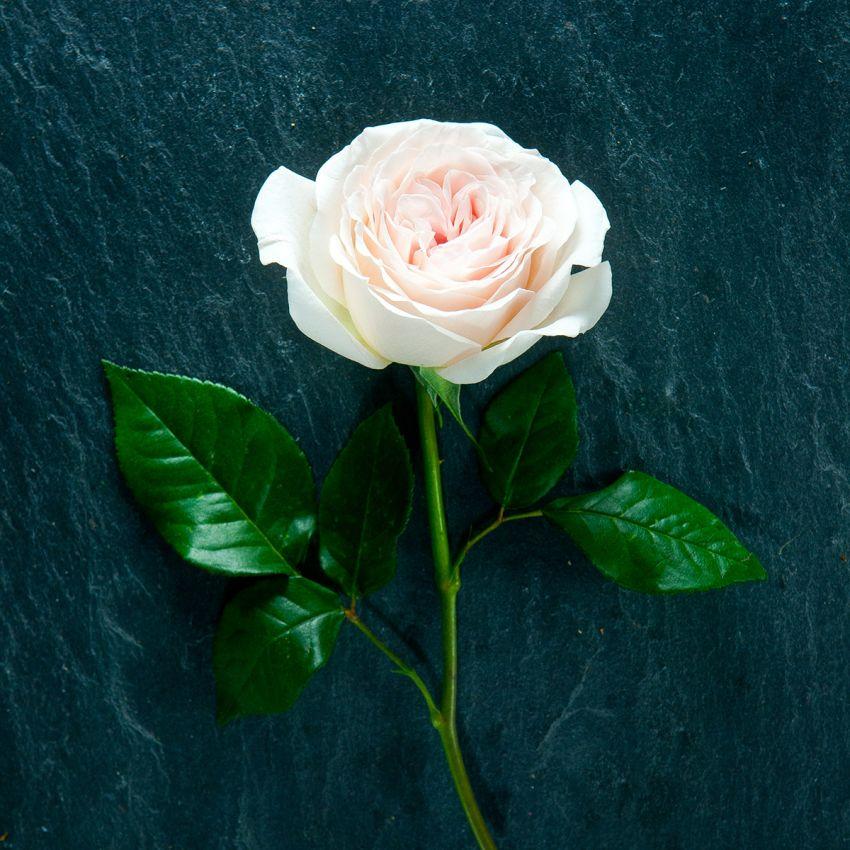 Prince Jardinier – Gift Boxed Potting Rose
