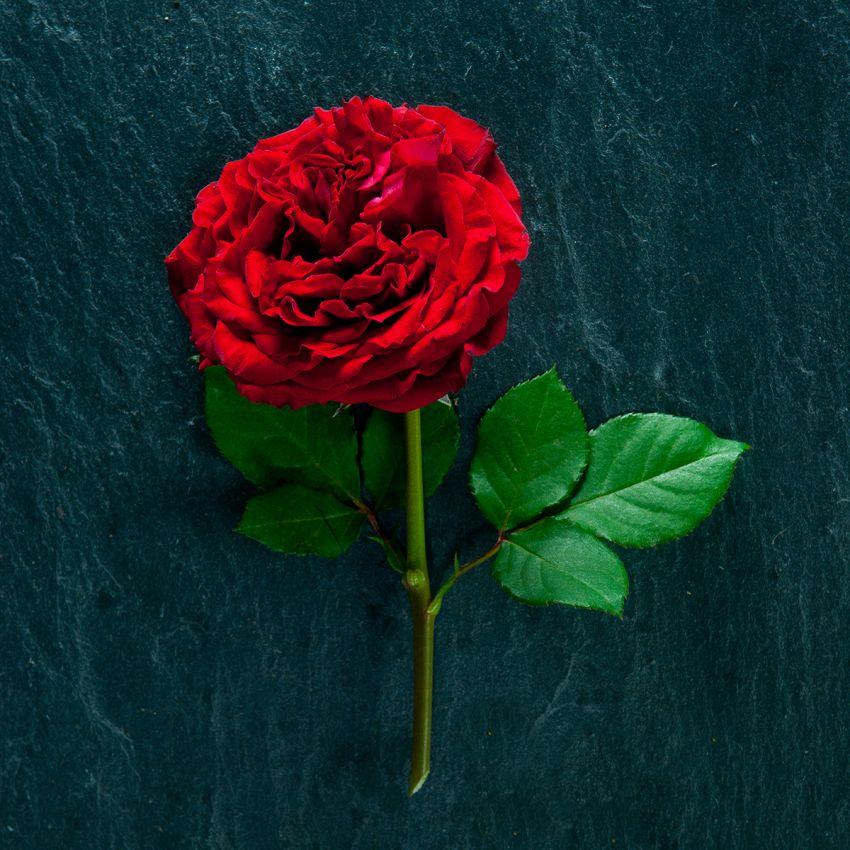 Red Elegance