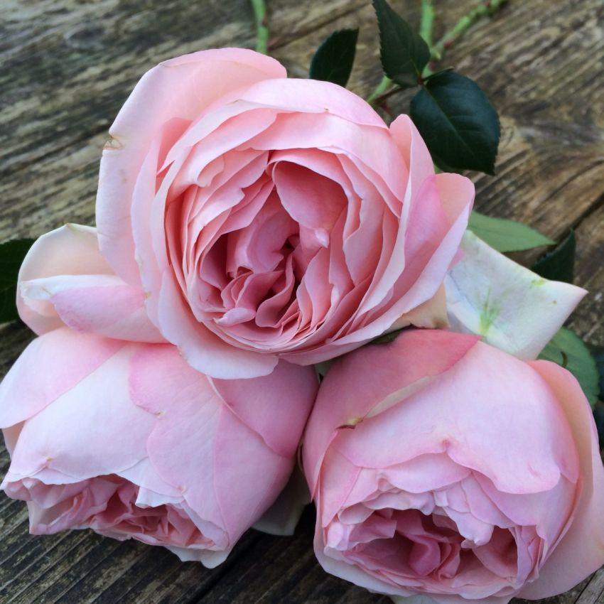Voyage – Gift Boxed Potting Rose