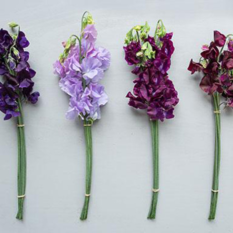 Ten sweet-smelling facts about Sweet Peas