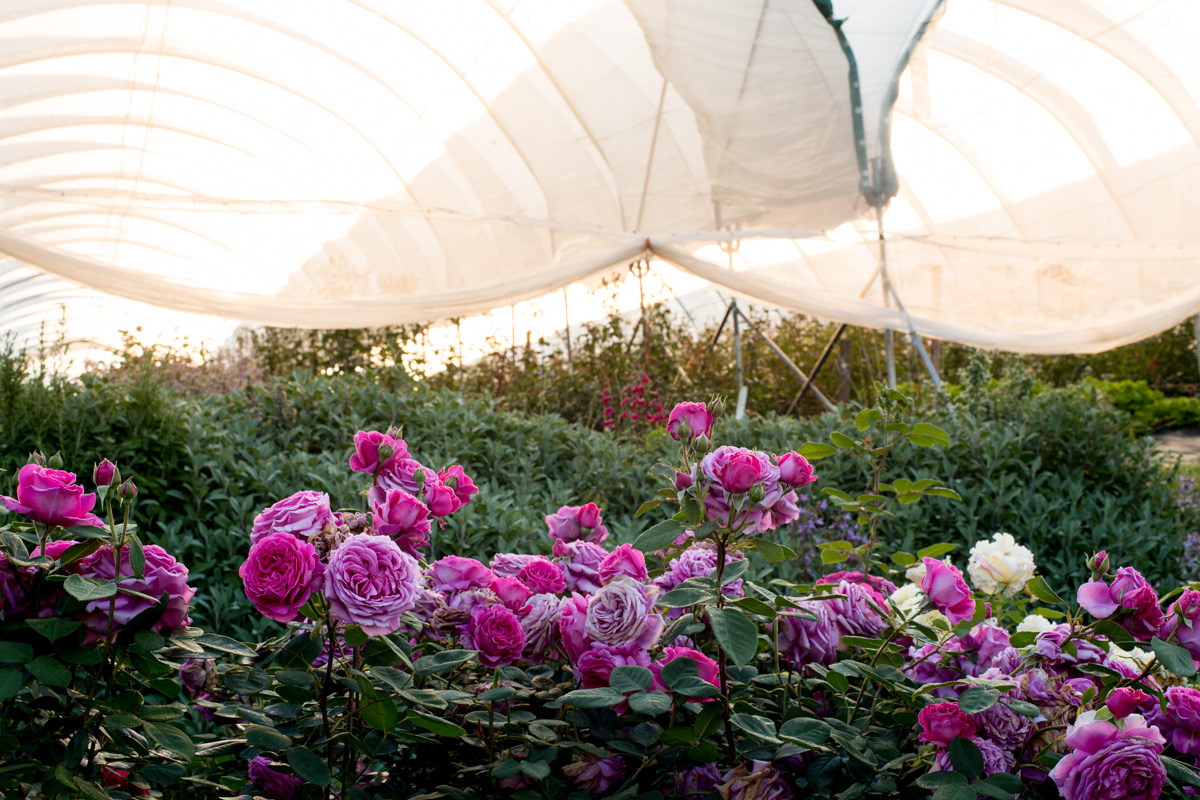 roses in polytunnel